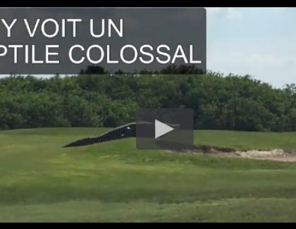 VIDEO: un alligator géant sur un parcours de golf !