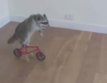 VIDEO – Un raton-laveur plutôt balèze !