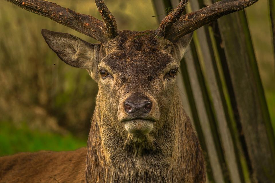 Ils essaient de sauver un cerf, le chasseur tente de les abattre ! (VIDEO)